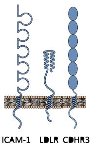 hrv-receptors