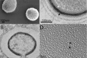 Mollivirus sibericum – новий гігантський вірус, який уражує Acanthamoeba