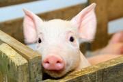 Зафіксовано новий спалах африканської чуми свиней