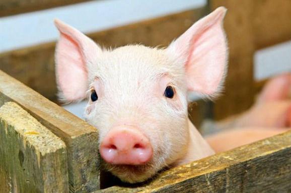im578x383-свиня1