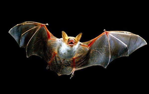 З'ясувалася роль кажанів у поширенні лейкемії
