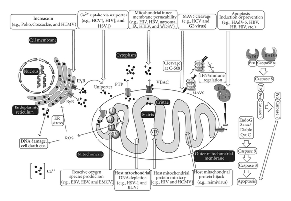 Viruses as Modulators of Mitochondrial Functions