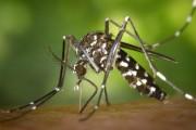 Вірус зіка і тигровий комар, нова загроза?