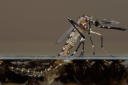 Modified mosquitoes begin blitz on dengue in Brazilian city