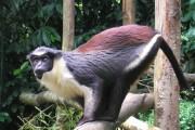 Дослідження TRIM5 виявило еволюційну давність появи лентівірусів приматів