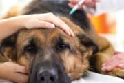 В США поширюється потужний штам собачого грипу