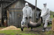 Африканська чума свиней спалахнула на Хмельниччині
