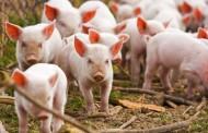 На Харківщині стався спалах африканської чуми свиней