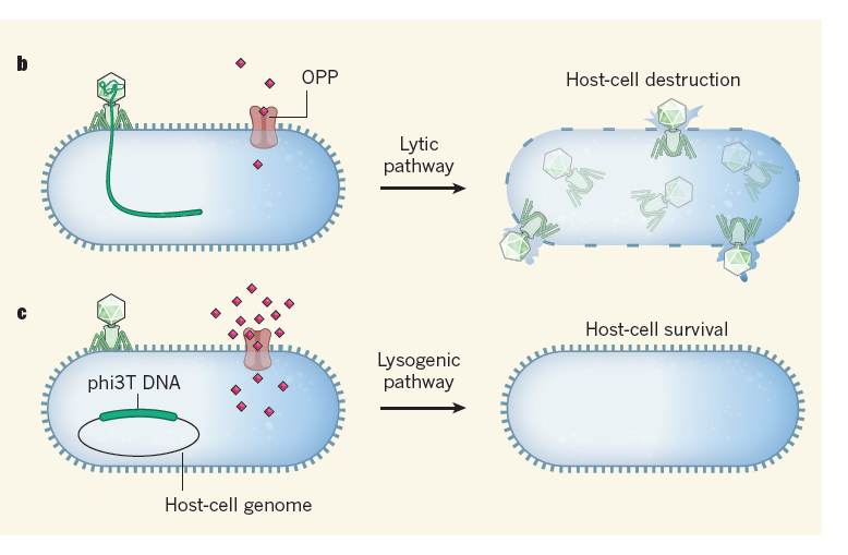 Phages Make a Group Decision